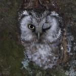 Tengmalm's Owl (Aegolius funereus) pôtik kapcavý - Martin Špilák