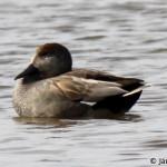 Gadwall (Anas strepera) kačica chripľavka - Ján Dobšovič