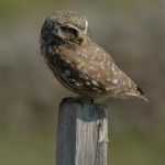 Little Owl (Athene noctua) kuvik obyčajný - Ján Svetlík