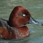 Ferruginous Duck (Aythya nyroca) - Ján Svetlík