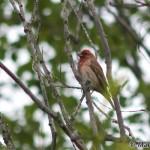 Common Rosefinch (Carpodacus erythrinus) červenák karmínový - Martin Špilák
