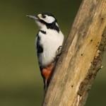 Great Spotted Woodpecker (Dendrocopos major) ďateľ veľký - Michal Šúr