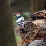 White-backed Woodpecker (Dendrocopos leucotos) ďateľ bielochrbtý - Jozef Fiala