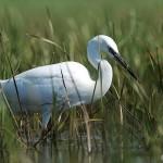 Little Egret (Egretta garzetta) - Ján Svetlík