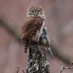 Pygmy Owl (Glaucidium passerinum) kuvičok vrabčí - Jozef Fiala