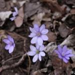 Liverwort (Hepatica nobilis) pečeňovník trojlaločný - Ján Dobšovič
