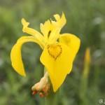 Yellow Iris (Iris pseudacorus) kosatec žltý - Ján Dobšovič