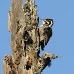 Three-toed Woodpecker (Picoides tridactylus) ďubník trojprstý - Tomáš Kaliský