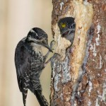 Three-toed Woodpecker (Picoides tridactylus) ďubník trojprstý - Martin Špilák