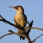 Green Woodpecker (Picus viridis) žlna zelená - Jozef Fiala