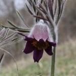 Small Pasque Flower (Pulsatilla pratensis ssp. bohemica) poniklec lúčny český - Ján Dobšovič
