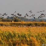 Common Cranes (Grus grus) - Peter Orolin