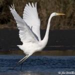 Western Great Egret (Egretta alba) - Ján Svetlík