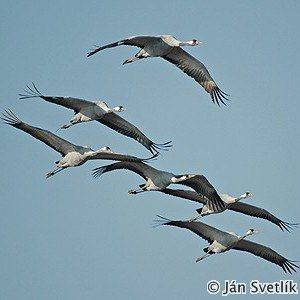 Common Crane (Grus grus) - Ján Svetlík