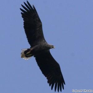 White-tailed Eagle (Haliaeetus albicilla) - Jozef Chavko