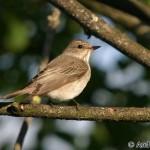 Spotted Flycatcher (Muscicapa striata) - Andrej Chudý