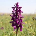 Green-winged Orchid (Orchis morio) vstavač obyčajný