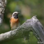 Redstart (Phoenicurus phoenicurus) - Andrej Chudý