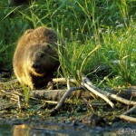 Beaver (Castor fiber) - Tomáš Hulík