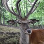 Red Deer (Cervus elaphus) - Ján Dobšovič