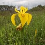 Yellow Flag Iris (Iris pseudacorus) kosatec žltý - Ján Dobšovič