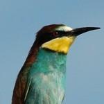 European Bee-eater (Merops apiaster) včelárik zlatý - Ján Svetlík