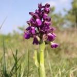 Green-winged Orchid (Orchis morio) vstavač obyčajný - Ján Dobšovič