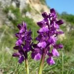 Green-winged Orchid (Orchis morio) vstavač obyčajný - Katka Slabeyová