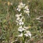 Green-winged Orchid (Orchis morio var.alba) - Ján Dobšovič