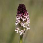 Burnt Orchid (Orchis ustulata) vstavač počerný- Ján Dobšovič