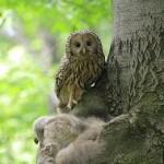 Ural Owl (Strix uralensis) - Jozef Fiala
