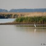 Great Egret (Egretta alba) beluša veľká - Michal Šeďo