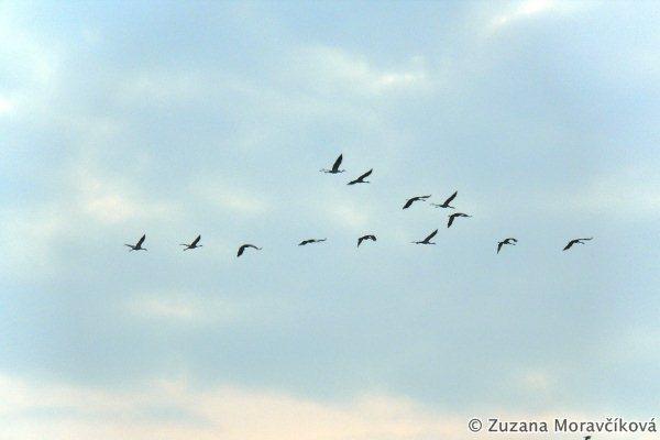 Letiace žeriavy