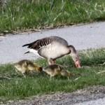 Greylag Goose (Anser anser) hus divá - Ján Dobšovič
