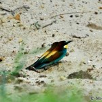 European Bee-eater (Merops apiaster) včelárik zlatý - Michal Šeďo