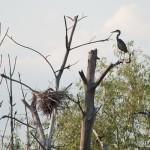 kolónia volaviek popolavých (Ardea cinerea) - Grey Heron colony