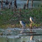 Chavkoš nočný (Nycticorax nycticorax) - Night Heron