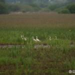 Lyžičiar biely (Platalea leucorodia) - Spoonbill
