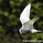 Čorík bahenný (Chlidonias hybrida) - Whiskered Tern