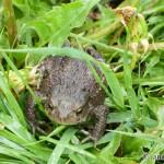 Ropucha bradavičnatá (Bufo bufo) - Common Toad