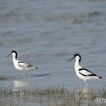 Avocet (Recurvirostra avosetta) šabliarka modronohá