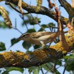 Sedge Warbler (Acrocephalus schoenobaenus) trsteniarik malý