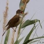 Great Reed Warbler (Acrocephalus arundinaceus) trsteniarik veľký