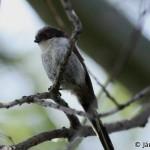 Long-tailed Tit (Aegithalos caudatus) mlynárka dlhochvostá