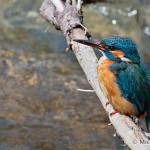 Kingfisher (Alcedo atthis) rybárik riečny