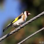 Goldfinch (Carduelis carduelis) stehlík obyčajný