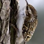 Treecreeper (Certhia familiaris) kôrovník dlhoprstý