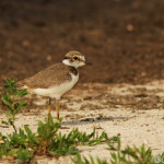 Little Ringed Plover (Charadrius dubius) kulík riečny