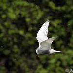 Whiskered Tern (Chlidonias hybrida) čorík bahenný