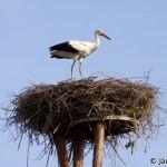 White Stork (Ciconia ciconia) bocian biely